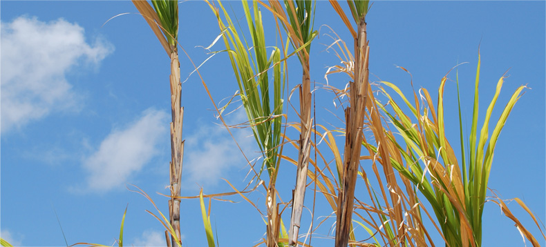 Natural Sugar Cane