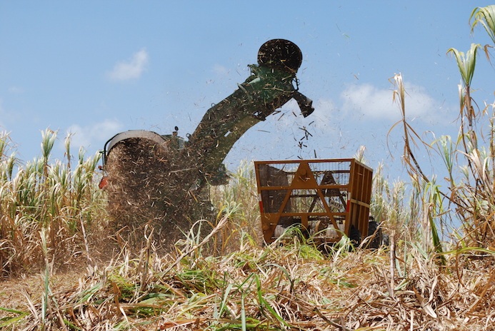 Harvesting Sugar Cane In Barbados