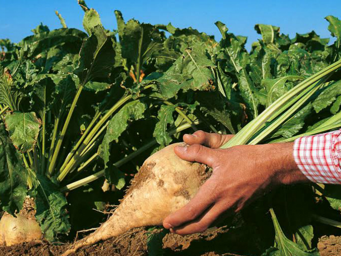 Beet sugar being grown; Ragus supports all its farmers and producers with advice and support on how to optimiseefficiencies, and promote the cause of sustainable sugar production