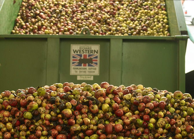 Picture of thousands of ripe apples ready for pressing